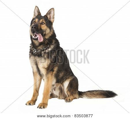 An Old German Shepherd