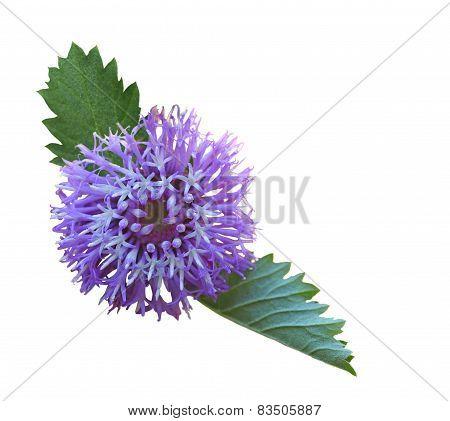 Larkdaisy Flower