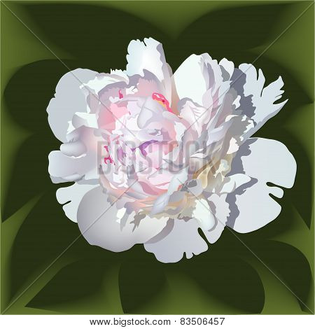 White Realistic Paeonia Flower With Pink Center