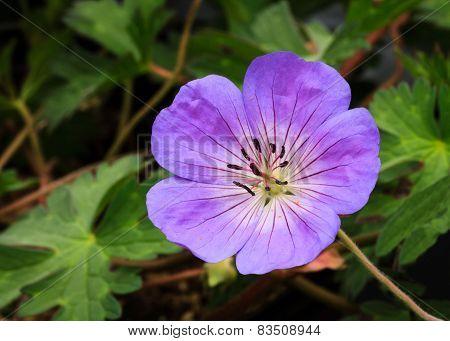 Perennial Geranium Rozanne