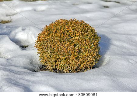 Oval Decorative Shrub Surrounded By Snow