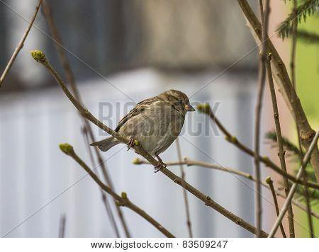 Single Sparrow