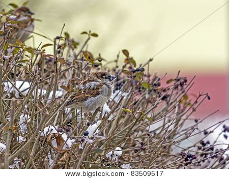 Flock Of Sparrows On A Red Branch