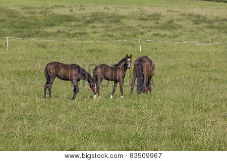 Two Young Colts And Mare
