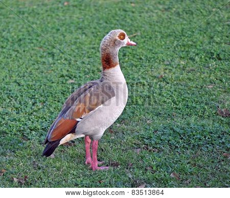 Colorful Egyption Goose