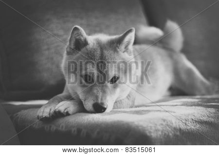 Vintage Black And White Shiba Inu Dog On Couch