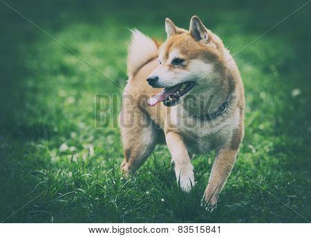 Vintage Photo Of Shiba Inu Dog On Grass
