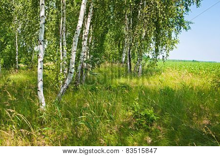 Birch Grove In Spring