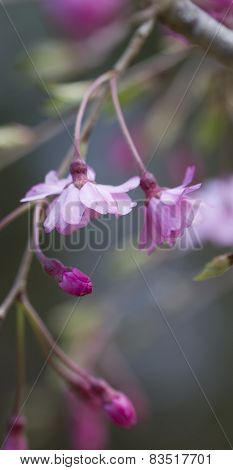 Japanese Weeping Cherry Blossom Background