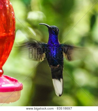 Bright blue hummingbird hovering near a feeder in Monteverde Biological Reserve, Costa Rica
