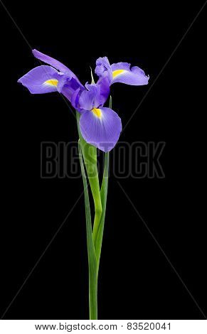 Blue Iris Isolated On Black