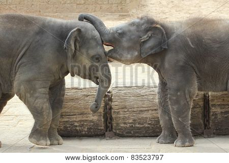 Elephants touching each other gently