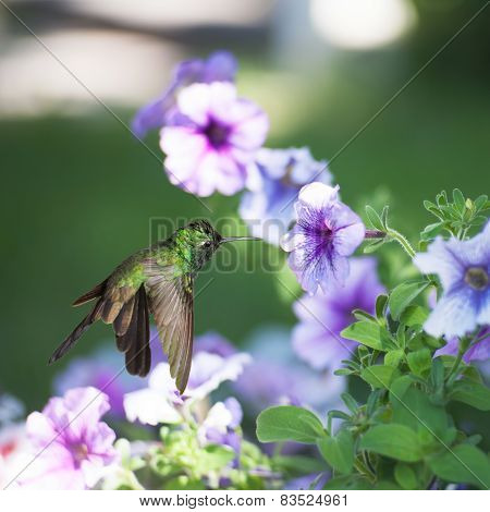 Male Cuban Emerald Hummingbird(chlorostilbon Ricordii) Hovering On Violet Flower