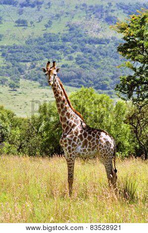 Female Giraffe In South Africa