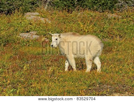Kid Mountain Goat In Glacier National Park