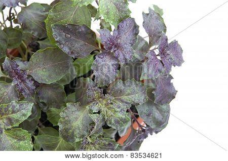 Basil in flowerpot