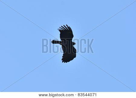 Black Eagle (ictinaetus Malayensis)