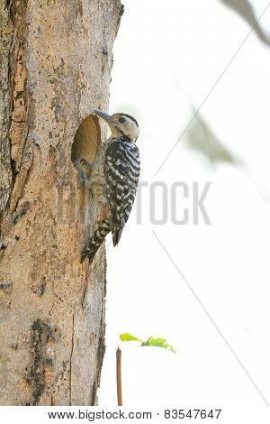 Female Spot-breasted Woodpecker (dendrocopos Analis)