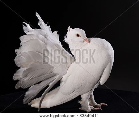 Proud white pigeon