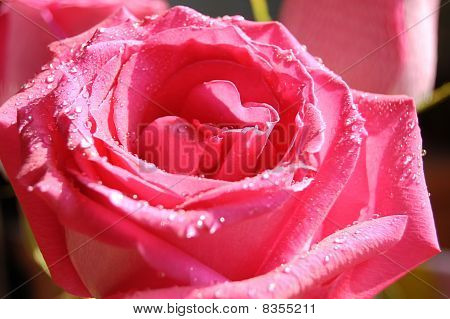 rose with drop of water