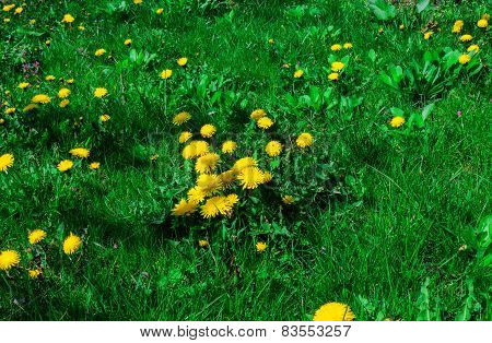 on the green lawn of dandelions grow
