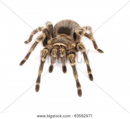 Chaco Golden Knee Tarantula On White Background