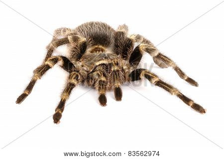 Chilean Rose Hair Tarantula On White Background