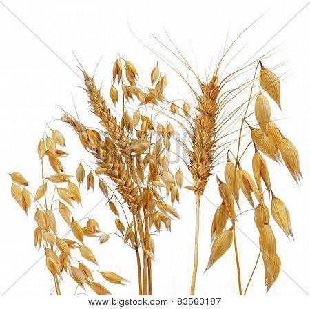 Oats, rye and wheat