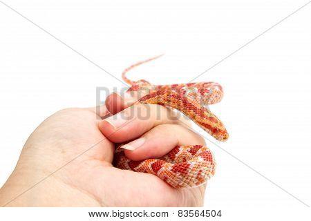 Albino Corn Snake  In Hand