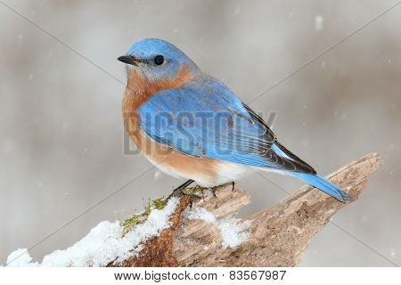 Male Eastern Bluebird In Snow