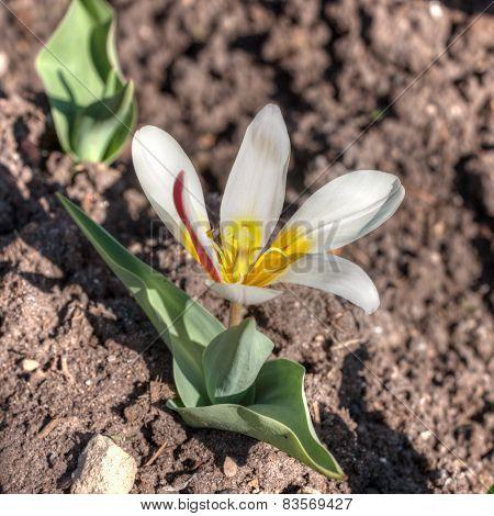White Tulip Close Up