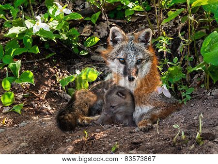 Grey Fox (urocyon Cinereoargenteus) Vixen And Kit Cuddle