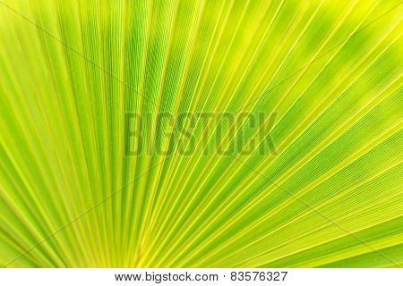 Green Texture Of Palm Leaf. Space For Your Text.