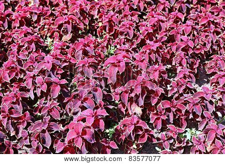 Background Of Plants Of Maroon Coleus In The Garden