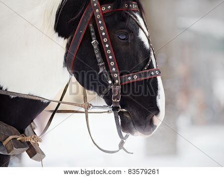 Muzzle Of A Horse In A Harness.