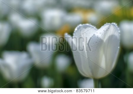 White Tulip Blurred