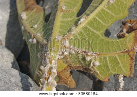 group of mealybug on green leaf