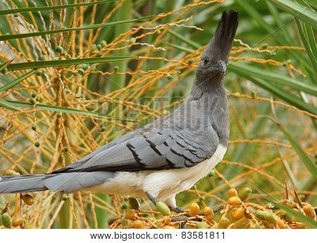 Go-away-bird, Ethiopia, Africa