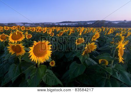Twilight Sunflowers