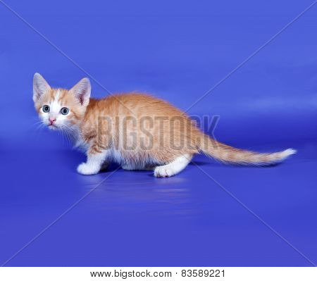 Red And White Cat Sneaks Up On Blue