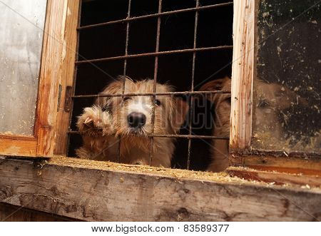 Red Shaggy Dog Looks Out From Behind Window Bars