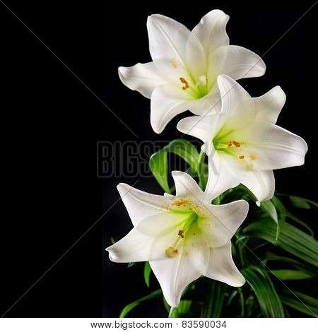 White Lily Flowers Bouquet On Black Background. Condolence Card