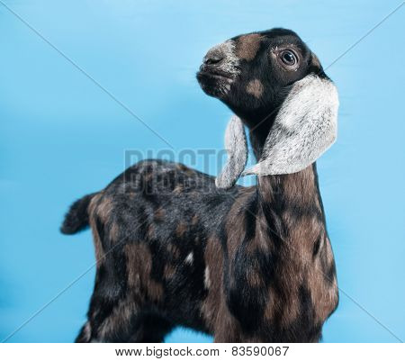 Black, White And Red Nubian Lamb Standing On Blue