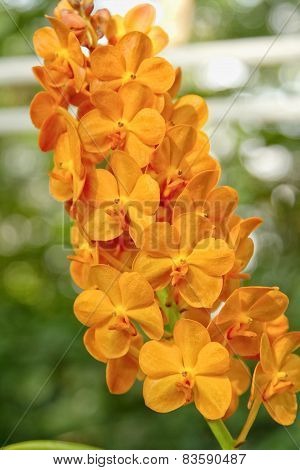 Orange Orchid , ascocenda Orchid