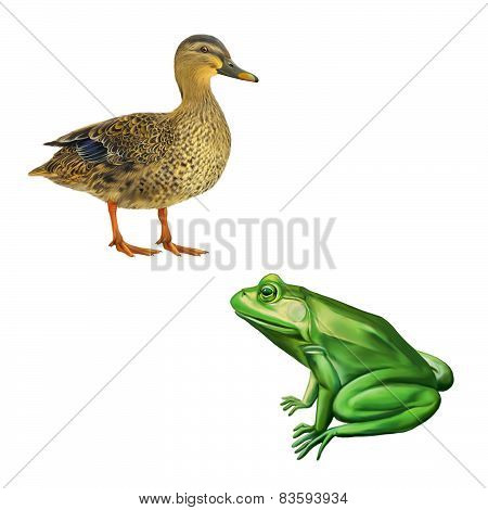 Female mallard duck, Green frog with spots, spotted toad, Isolated on white