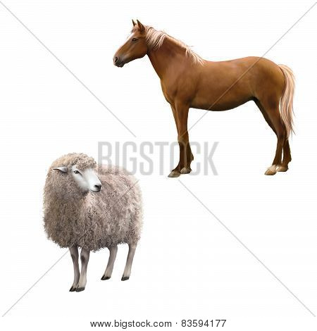 Mixed breed horse standing, Front view of a Sheep looking away.  illustration isolated on white back
