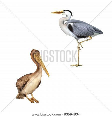 pelican standing proud on a white background. Grey Heron standing, Ardea Cinerea, isolated on white