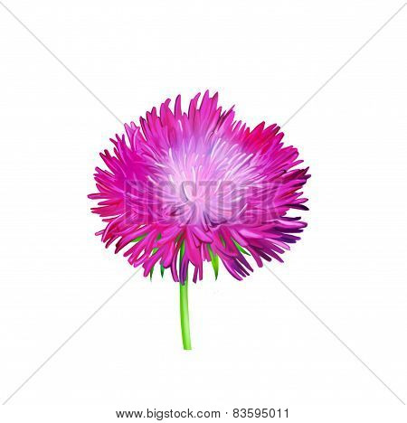 Aster. Pink flower, Spring flower. Isolated on white background