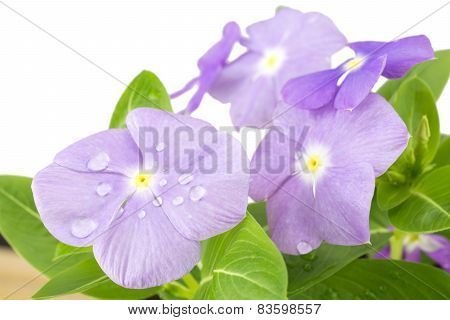 Madagascar periwinkle flowers