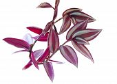 picture of wander  - Purple heart wandering jew plant isolated on white background - JPG